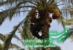 فرماندار کازرون در خشت/ عکس: محمود نوذری